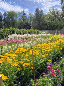 In Maine, we grow flowers in sections - a bit different from my cutting garden at my Bedford farm. Growing here are lilies, snapdragons, rudbeckia, and asters.