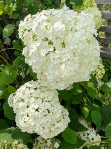Along the back wall of the cutting garden, I also grow many hydrangeas - these flowers also look so gorgeous this year.