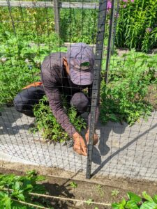 A few weeks ago, the crew installed metal uprights and netting leftover from old deer fencing on both sides of each tomato bed. In this photo taken in mid-July, Domi secures the netting to the metal with four-inch-long cable ties or zip ties.