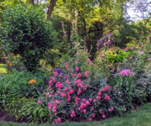 In this bed - roses, hollyhocks, phlox, and more lilies.