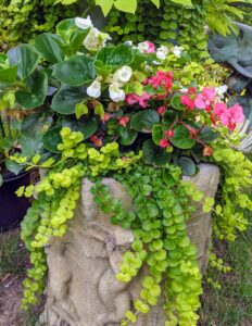 This planter is overflowing with begonias and creeping Jenny, Lysimachia nummularia. Creeping Jenny is a species of flowering plant in the family Primulaceae. Its other names include moneywort, herb twopence, and twopenny grass. I love Lysimachia and often use it as underplanting for my big tropicals.