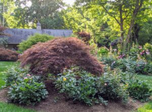 In this bed, another one of Jim's gorgeous Japanese maples in dark burgundy, and surrounded by roses.