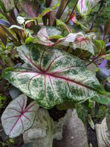 Caladiums are known for their big, heart-shaped leaves that feature amazing color combinations of white, pink, red and green. These plants thrive in hot, humid weather and grow best in full to partial shade.