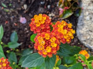 This is orange verbena. Verbena blooms are tubular in shape, growing in a round cluster typically two to three inches across. Verbena plants bloom through summer and fall.