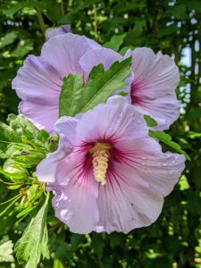 Rose of Sharon bears large trumpet-shaped flowers that have prominent yellow-tipped stamens.