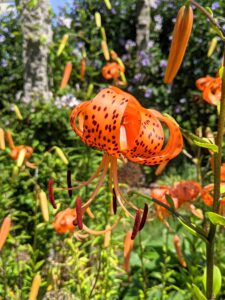 Tiger lilies are covered with black or deep crimson spots, giving the appearance of the skin of a tiger.