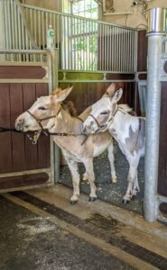 "Next - the youngest of our donkey herd - Truman ""TJ"" Junior and Jude ""JJ"" Junior."