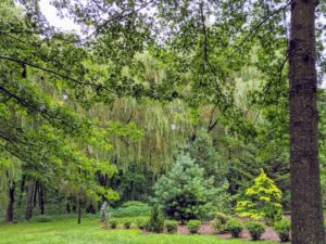 By mid-morning, the trees began to sway, especially the cascading branches of the weeping willows behind my pinetum.
