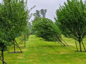 In the orchard, many of my young fruit trees were left leaning. They have to be re-staked upright.