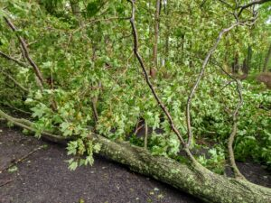 Luckily, the trees fell toward the carriage road in the maple woodland and not on the hoop house itself. They also fell between smaller trees, and did not create too much damage on the way down.