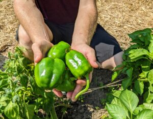 Sweet peppers have a mild, sweet flavor and crisp, juicy flesh. It is a very good season for peppers here.