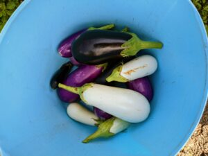 Pick eggplants when they are young and tender. Picking a little early will encourage the plant to grow more, and will help to extend the growing season.