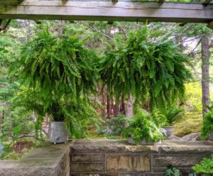 These ferns, Nephrolepis exaltata 'Bostoniensis', hang from the Western Terrace every year. They are among the most popular varieties with its frilly leaves and long, hanging fronds.