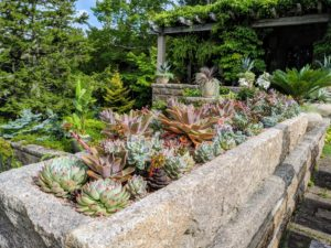 This is my long stone trough planted with succulents. We planted it in color blocks with pink gravel – the same pink gravel that covers the carriage roads at Skylands. These are some of the succulents that were rooted over the winter from cuttings and pups.
