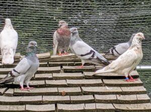Do you know… a group of pigeons is called a flight or a flock. And a baby pigeon is called a squab. The two gray pigeons here are Dunn Tipplers.