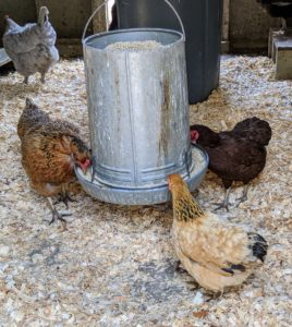 This feeder is particularly busy. All the hens love their new pellets.