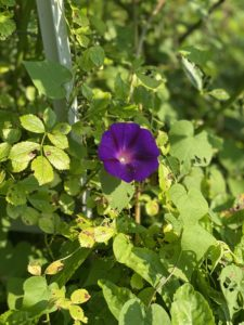 This deep purple morning glory flower was a foreign flower to me prior to working here. This beauty is one I hope to plant in my own garden someday.