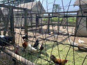 These are Martha's chickens in the chicken yard - they are constantly clucking. They are friendly and fluffy, and lay dozens of eggs each week.