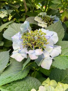 This is an interesting hydrangea. It is called a lace cap hydrangea,Hydrangea macrophylla, and is native to Japan. This particular plant's blossoms always face down. I think it is beautiful.
