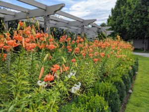 And this week, the pergola is bursting with color. These flowers are very hardy, and most stand well on their own.