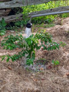 Chhiring gives this sapling a good, deep drink.