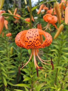 Tiger lilies, Lilium lancifolium, bloom in mid to late summer, are easy to grow and come back year after year.