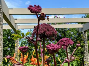 Angelica gigas bloom from summer to fall showing off their deep burgundy colors. It looks great in this garden against the bright orange colored tiger lilies.