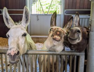 Clive, Billie, and Rufus look on from their stall as their young friends get their hooves trimmed and filed. Billie even smiles for the camera.