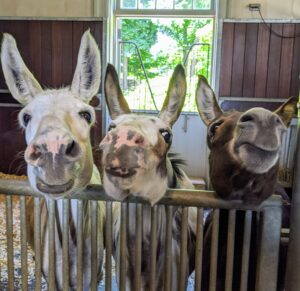 I think now they are wondering what they get for being such good donkeys. Treats are on the way, Clive, Billie, and Rufus.