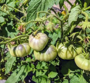 It's always a good idea to grow a range of varieties, including at least one or two disease-resistant types, since, of all veggies, tomatoes tend to be the most susceptible to disease. And be sure to grow the right types for your area.
