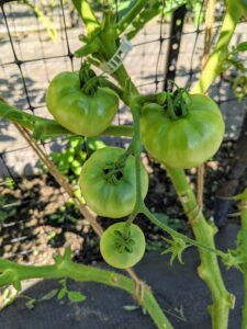Among this year's varieties - this old favorite, Rutgers tomatoes are highly productive. The large, fruits have a thick flesh with superior flavor. Strong determinate vines yield a large initial crop followed by several flushes of fruit - a true classic tomato.