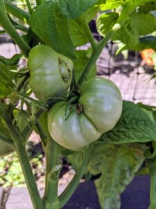 'Summer Sweet' is one of the larger varieties of dwarf tomatoes. Fruits average about 10-ounces and are packed with fruitiness.
