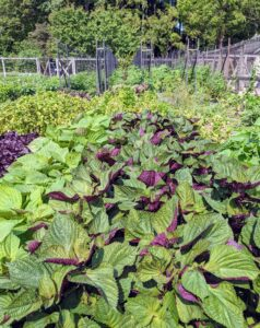 Shiso leaves that are green on the top side and red on the back side are called bicolored.