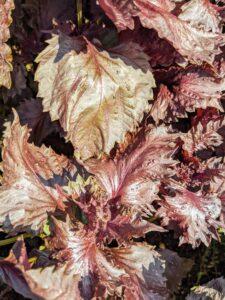 Shiso is native to the mountainous regions of China and India, but is now found worldwide. The plant comes in red, green, bicolor, and ruffled. These are red shiso leaves.