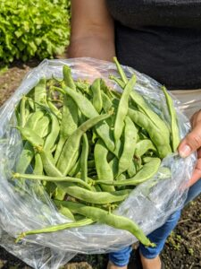 There was an abundance of beans. I like to plant my beans in succession, which keeps the garden productive longer.