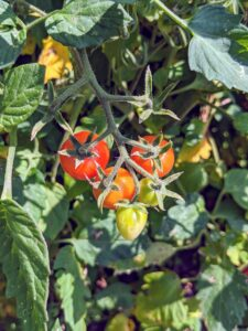 Tomatoes are heat loving plants, so all the tomato vines are laden with fruit. These are just about ready to pick.