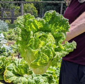 When it comes to nutrition, Chinese cabbage packs significantly more vitamins and minerals than regular cabbage. In addition to its high vitamin C and K levels, it's also full of folic acid and antioxidants. You can eat it raw, shredding it and adding it to tacos, salads or power bowls. Feel free to swap it in for any recipe that calls for green cabbage; its sweet flavor makes it particularly delicious in coleslaw recipes too.
