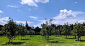 In my orchard, all the trees are again well-supported. If you recall, many of these trees were leaning after Tropical Storm Isaias. There are more than 200-fruit trees planted here – apple trees, plum trees, cherry trees, peach, pear, apricot and quince trees.