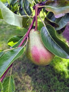 Classic pears are widest toward the tip and narrow toward the stalk. They mature in late summer or autumn depending on the variety. The average pear tree is able to produce a notable quantity of fruits for up to 40-years or more. The common pear tree, Pyrus communis, is a deciduous tree that can grow up to 40-feet tall or even more.