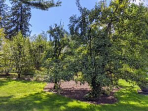 Not far from the Stewartia garden is a pear grove. Compared to apple trees, pear trees naturally develop more narrow, angled, and upright branches.