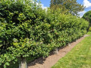 Across from the dwarf apple espalier orchard is the Malus 'Gravenstein'. This antique variety is well known for cooking, sauce, cider, and eating out of hand. The fruit is large, with crisp white flesh and a distinct, juicy flavor.
