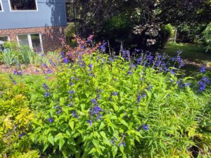 Facing the other way of the previous picture, is my beautiful clumping of 'Dark Blue' salvia, Salvia guaranitica. Salvia is a perennial and this variety attracts many hummingbirds.