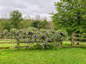 This is further down in the northeast backyard - a beautiful wisteria!