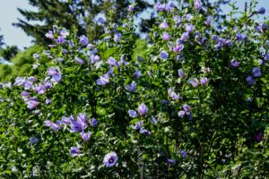 Blooms on these shrubs can range from light blue, white, pink to red, or lavender. Rose of Sharon blooms are short-lived, but the shrub produces a lot of buds on its new growth, which provides prolific flowering. The leaves are also deeply-lobed and light to medium green in color.