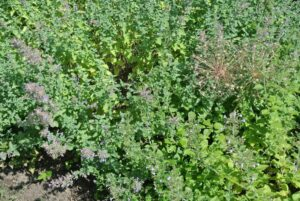 Catnip is a flowering herbaceous perennial in the mint family called Labiatae or Lamiaceae. The Labiatae family has 236 genera and more than 7000 species. It thrives in well-drained soil and in full sun to part shade and blooms from May to September.