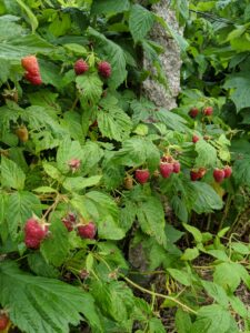 Botanically, the raspberry belongs to the Rosaceae family, in the genus Rubus.