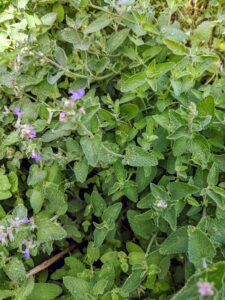 The botanical name for catnip is Nepeta cataria. The name Nepeta is believed to have come from the town of Nepete in Italy, and Cataria is thought to have come from the Latin word for cat.