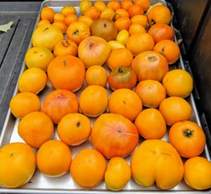 And here's a tray filled with yellow tomatoes. I will can both red and yellow together this year.