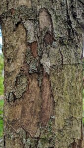 The bark of the pear tree is grey-brown in color, but the texture changes over time. As a seedling, the bark is smooth, but as the tree matures, it develops a rougher texture. A mature pear tree will have a very scaly texture.