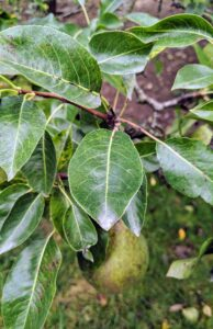 The leaves on a healthy pear tree are oval with pointed tips and fine teeth along their edges.